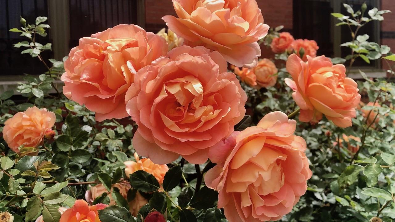 R. 'Lady of Shalott' in the Kathrine Dulin Folger Rose Garden