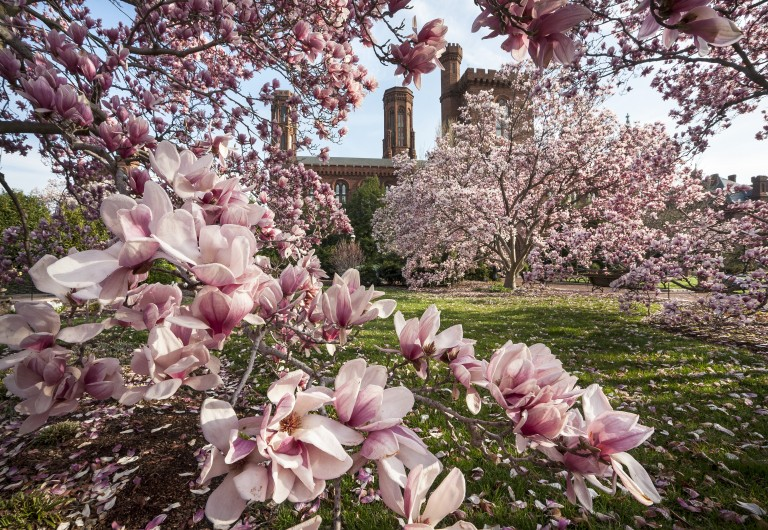Saucer magnolias in the Enid A. Haupt Garden