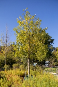 Overcup Oak (Quercus lyrata) & its native white oak group cousins: swamp white oak, live oak, swamp chestnut oak, and bur oak