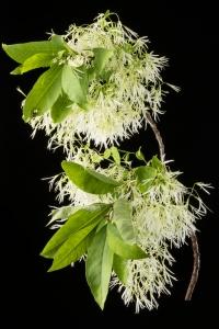 White Fringe tree& ChineseFringetree(Chionanthusvirginicus&Chionanthusretusus)