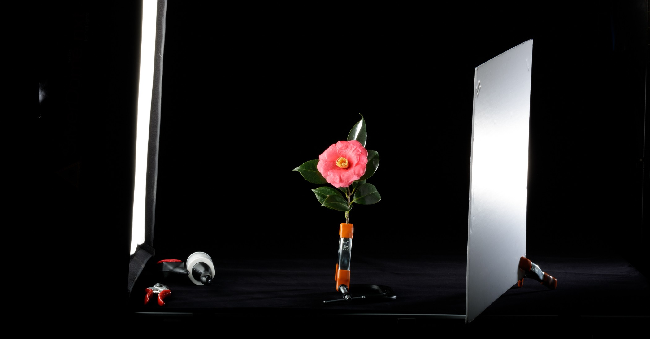 Pink camellia flower clamped in standing position between two light boxes in a dark studio