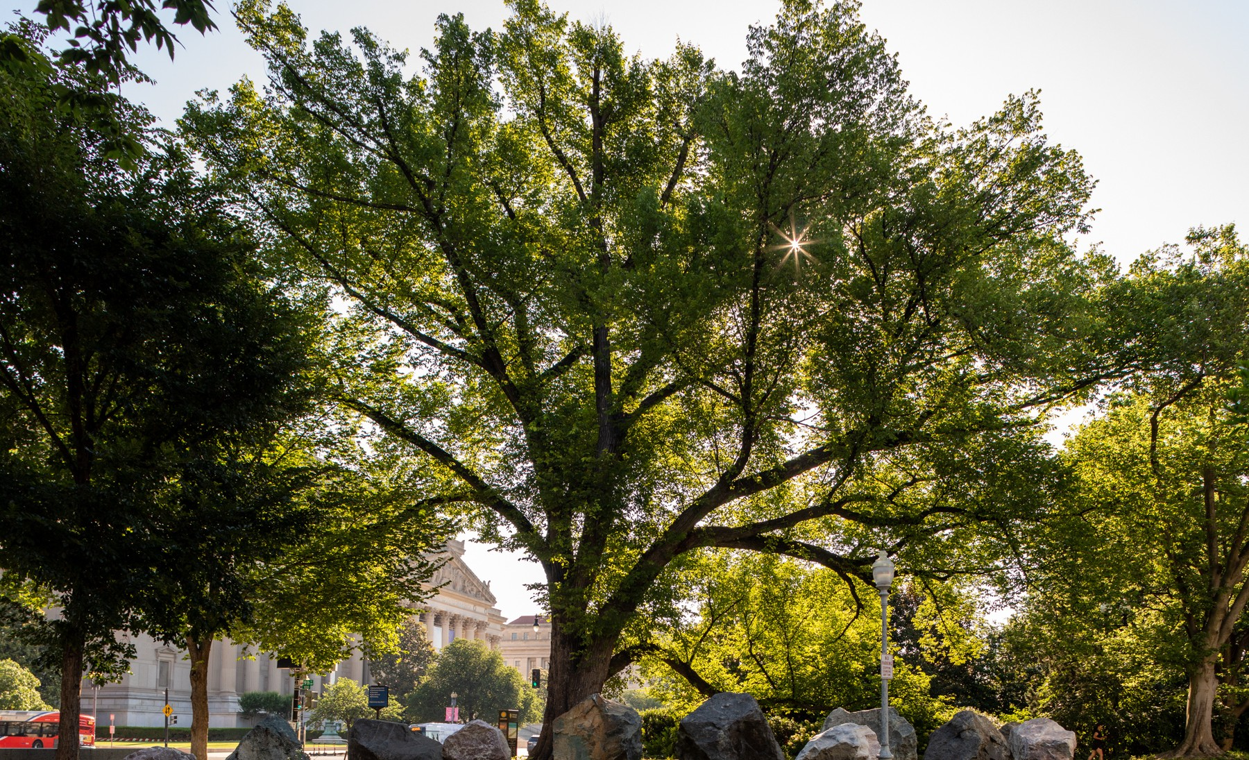 Large elm in summer with sun behind