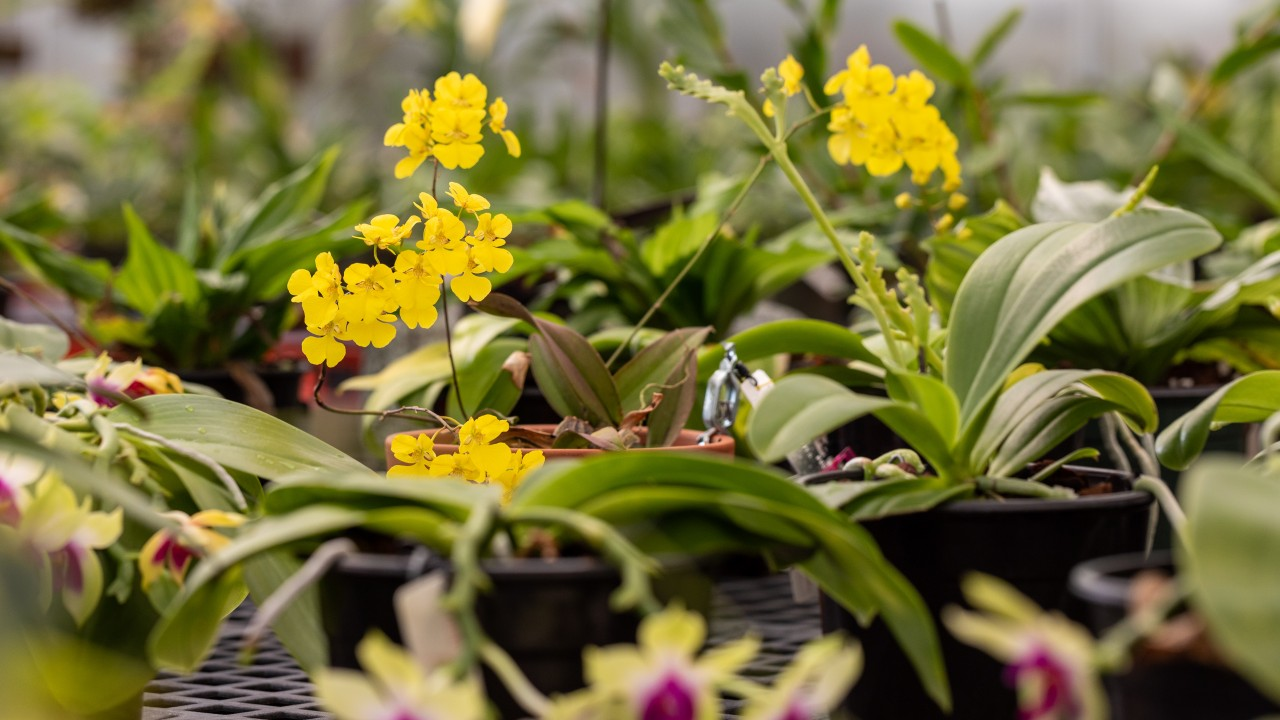 Various orchids in pots on greenhouse bench, with yellow flowers in focus