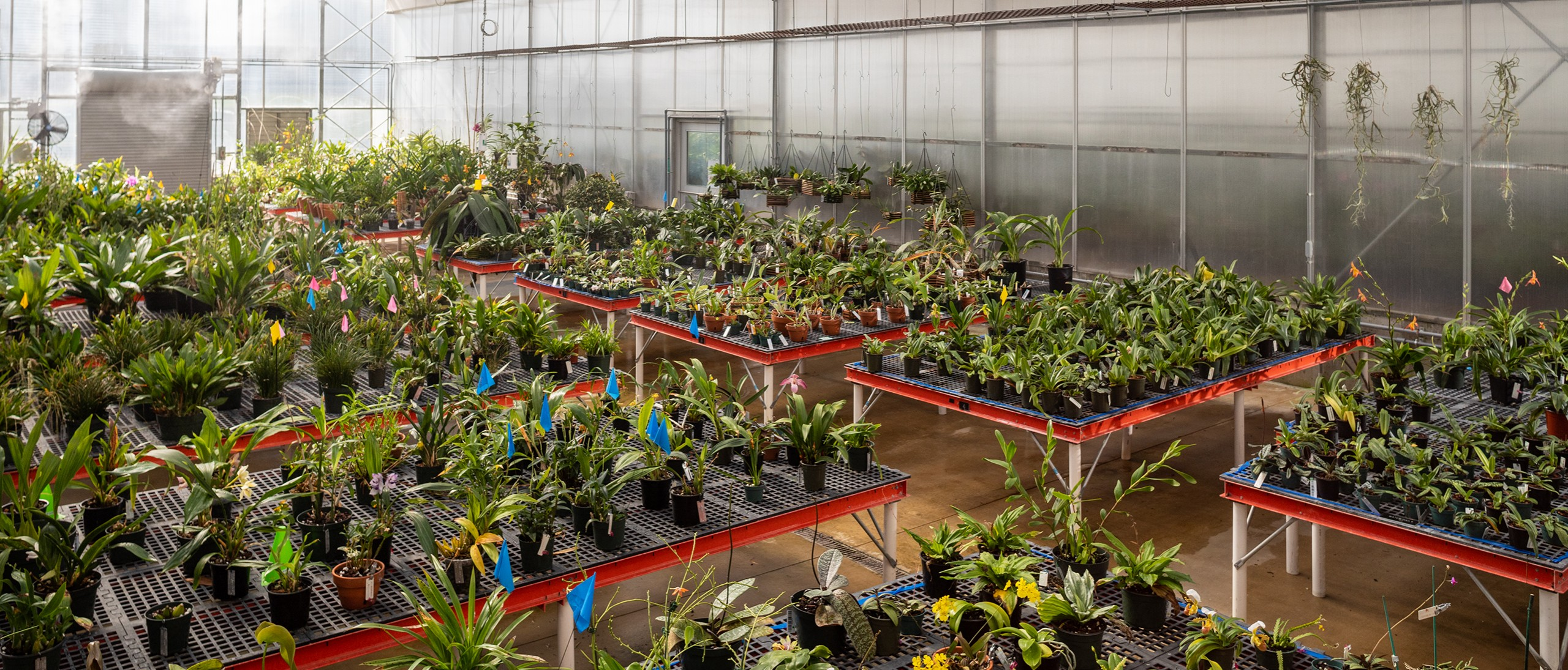 Orchids on many benches in greenhouse being misted