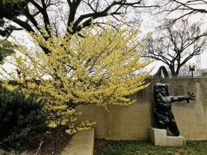Hamamelis 'Arnold Promise' at the Hirshhorn Museum and Sculpture Garden