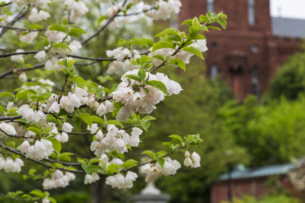 Silverbell (Halesia sp.)