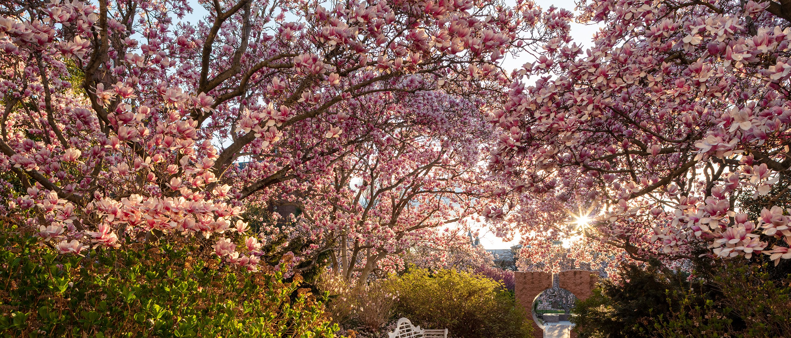 Pink saucer magnolias blooming with sun rising behind