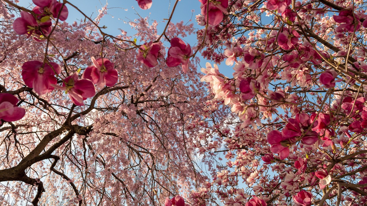 Look up at pink saucer magnolias and weeping cherry blossoms, blue sky behind
