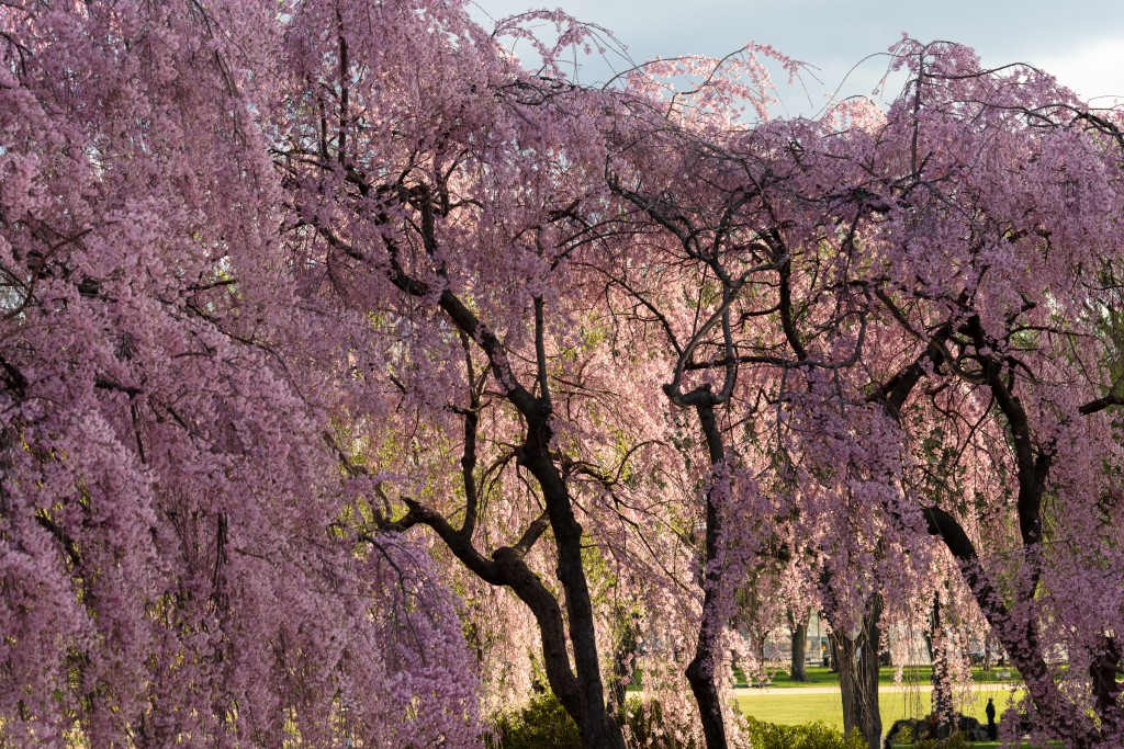 Flowering cherry at the National Air and Space Museum.