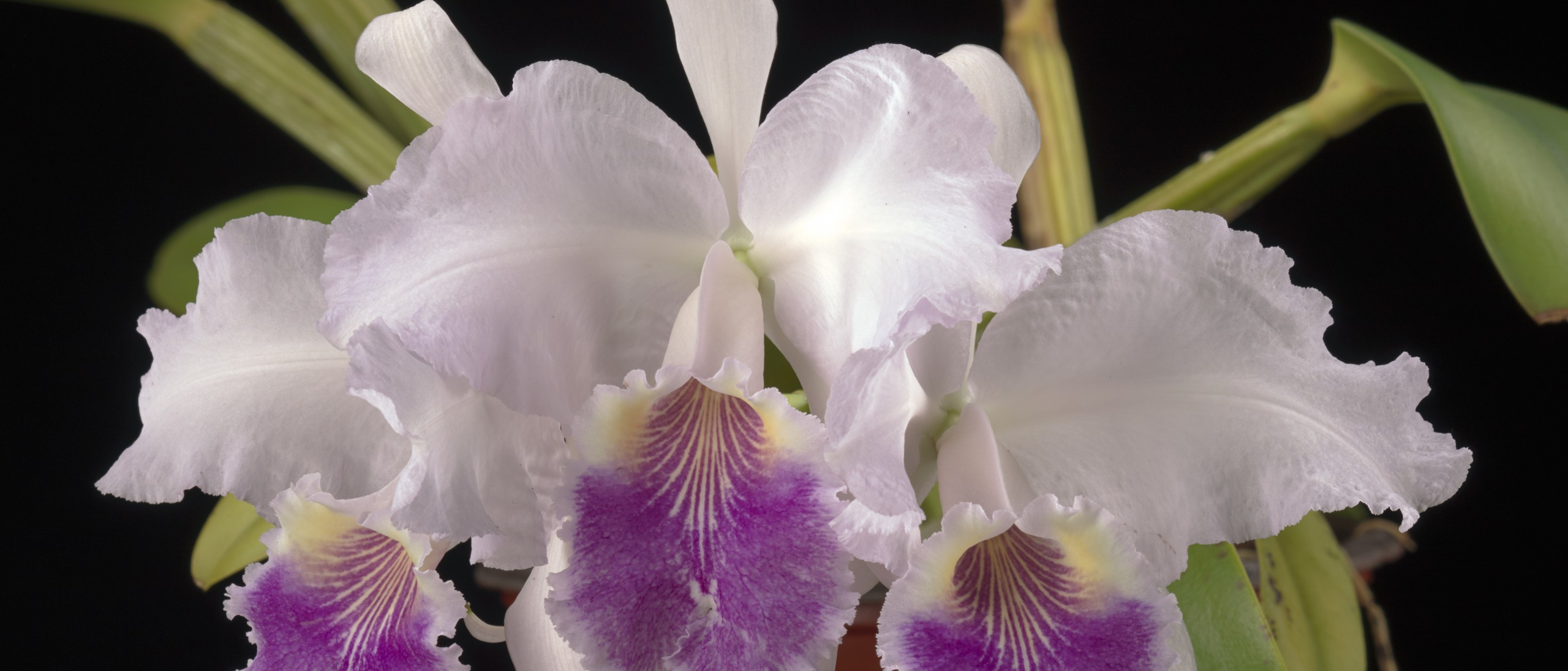Three white orchid flowers with purple lip growing in pot