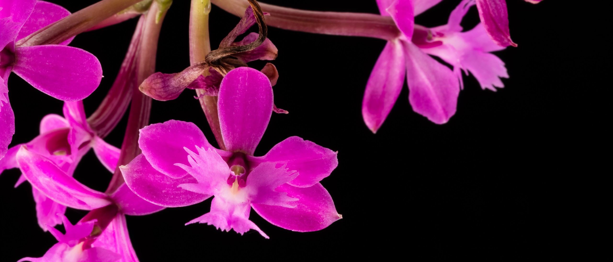Small purple-pink orchid flowers on stem on black background