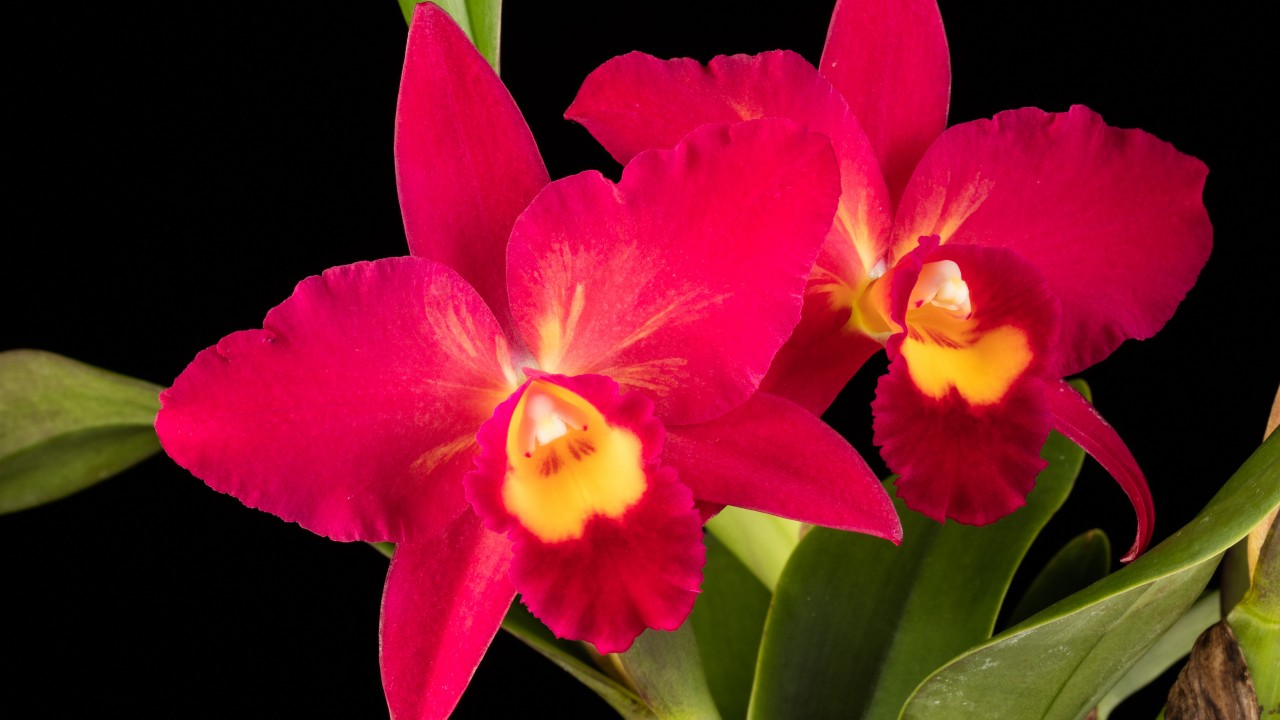 Red orchid flowers with yellow center with green leaves, black background