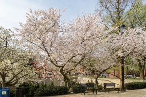Cherry blossom tree in full bloom outside with benches and blue sky