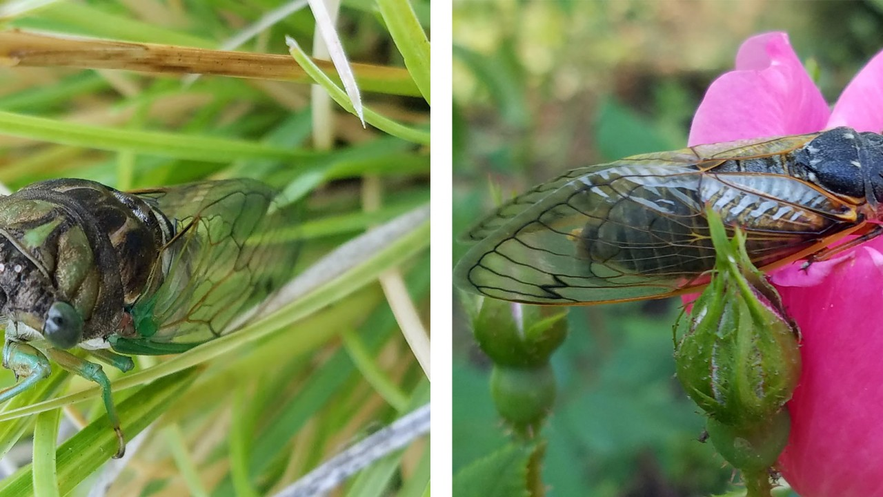 Annual & Periodical Cicadas