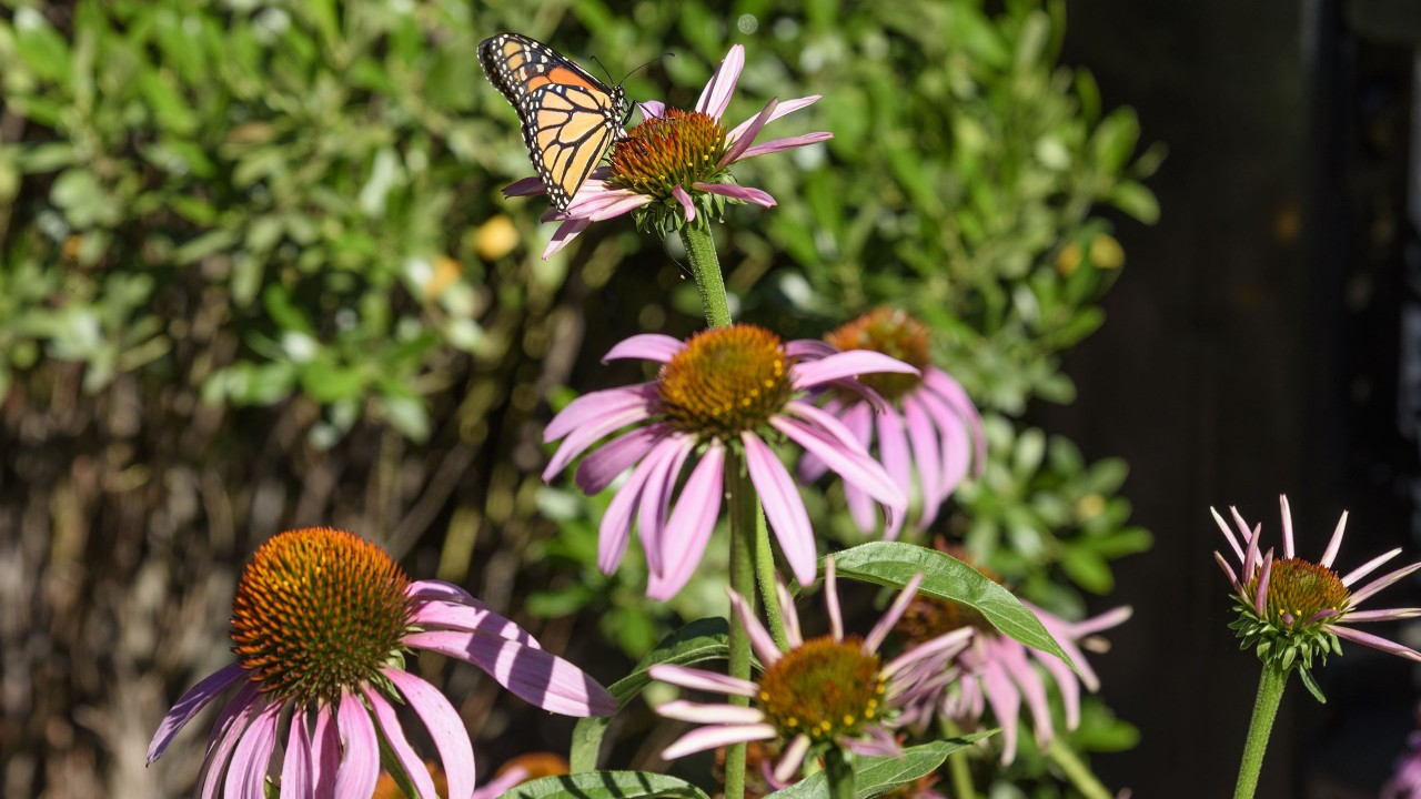 Purple conflower with monarch butterfly