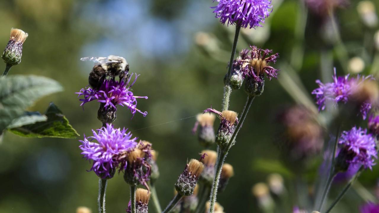 Bumblebee on purple liatris